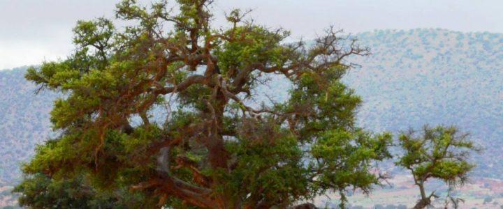 Marula, Aphloia et L'huile d'Argan l'or liquide de l'Afrique